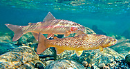 Brown Trout (with Rainbow Trout in background)<br /> <br /> Patrick Clayton/Engbretson Underwater Photography
