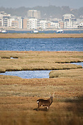 Sika stag on the saltmarsh at Arne with the town of Poole in the distance.
