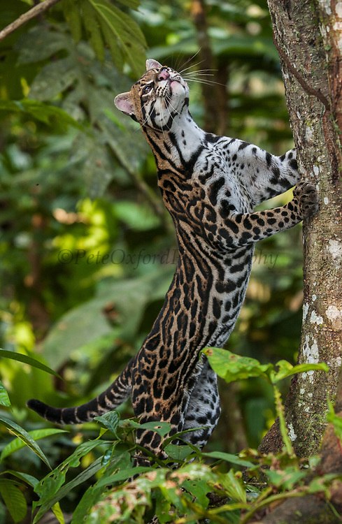 Ocelot (Felis (Leopardus) pardalis)<br /> Amazon Rain Forest. ECUADOR. South America<br /> Range: Forest and steppe from Arizona to n Argentina.<br /> Small cat weighing 11 - 16kgs. They prey on small mammals, birds, reptiles and are equally at home on the ground and in trees.  They are excellent climbers and swimmers.