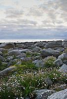 Grønt gress og blomster ved fjøresteinene på Alnes på Godøya i Giske kommune.<br /> <br /> Foto: Svein Ove Ekornesvåg