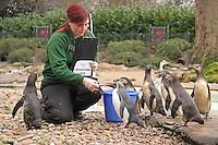 Rockhopper Penguin & Humboldt Penguins, ZSL London Zoo Annual Stocktake 2015, Regents Park, London UK, 05 January 2015, Photo By Brett D. Cove