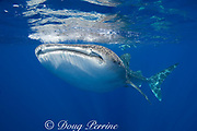 whale shark ( Rhincodon typus ) and snorkelers, Kona Coast of Hawaii Island ( the Big Island ) Hawaiian Islands, USA ( Central Pacific Ocean ) MR 360