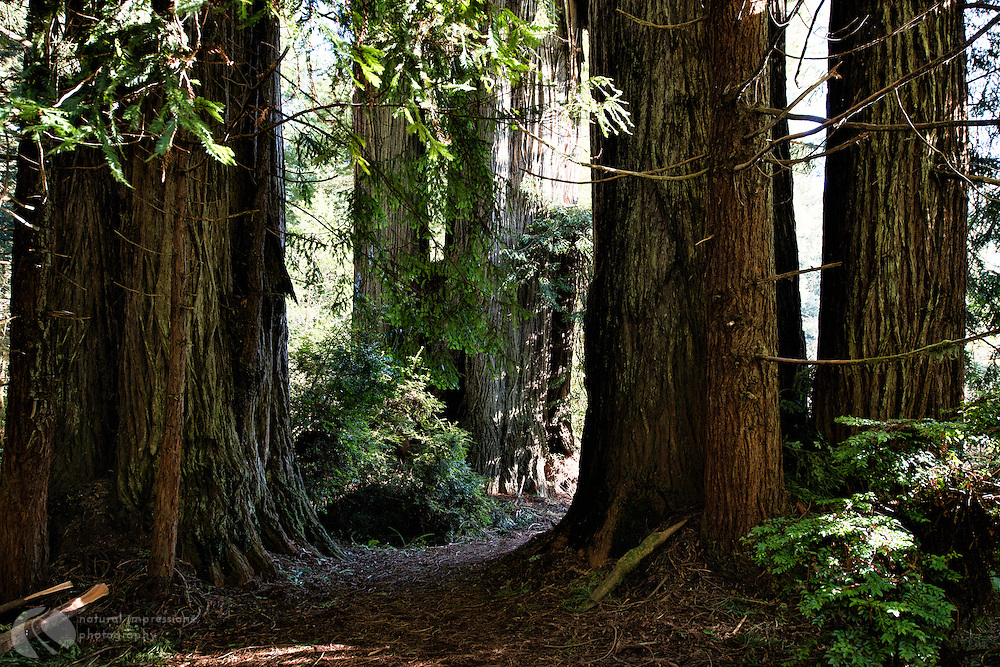 Redwoods, Prairie Creek State Park, Northern California coast, giant trees, landscapess