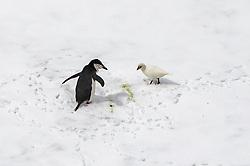 Chinstrap Penguin & Snowy Sheathbill, Point Wild, Elephant Island