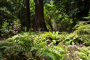 Photograph of Muir Woods National Monument, Mill Valley, California, USA.