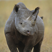 Black Rhinoceros (Diceros bicornis) portrait. Serengeti Plains, Masai Mara National Reserve, Kenya, Africa
