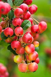 Malus x robusta 'Red Sentinel' AGM - Crab apple