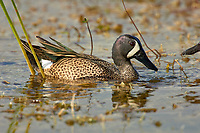 Blue-winged Teal (Anas discors), male, Arthur R Marshall National Wildlife Reserve - Loxahatchee, Florida, USA.