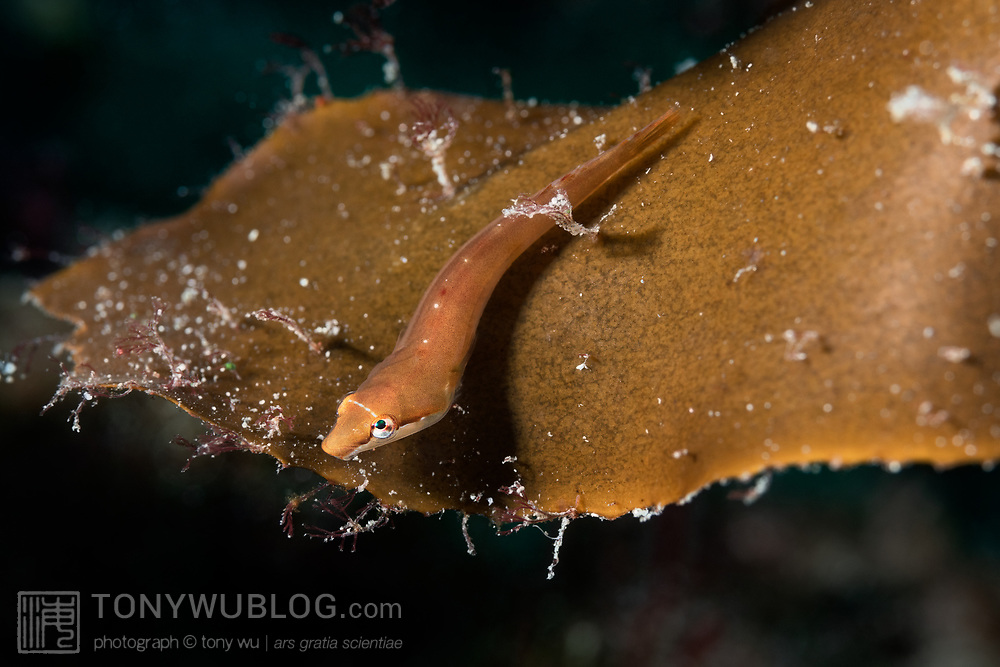 This is a species of clingfish (Aspasma minima) that is found in the northwest Pacific. This individual was one of a pair that was living on a large growth of brown algae (Ecklonia cava). As can be seen here, the fish is capable of turning its eyes to look directly overhead.