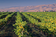 Vineyards in the Santa Maria Valley, San Luis Obispo County, CALIFORNIA