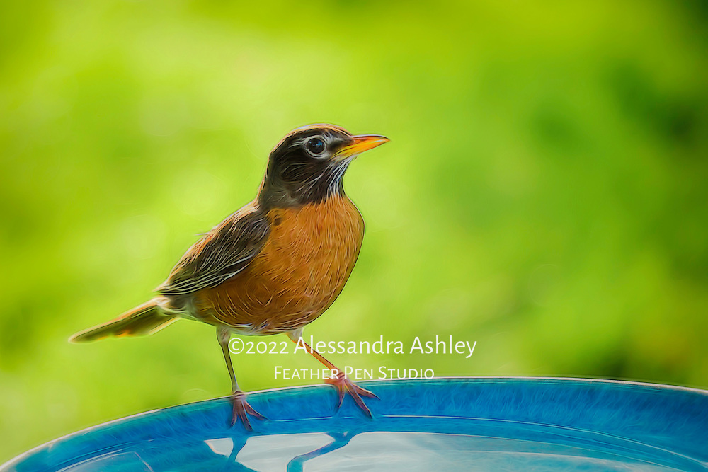 American robin perched on edge of birdbath before taking a drink. Painted effects blended with original photograph.