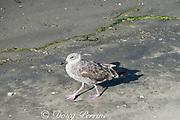 juvenile western gull, Larus occidentalis, Elkhorn Slough, Moss Landing, California, United States