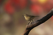 Common Chiffchaff, or simply the Chiffchaff, (Phylloscopus collybita) on a branch