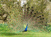 © Licensed to London News Pictures. 22/03/2012. Kew, UK. A peacock spreads its tail feathers in the warm sun. People enjoy the spring sunshine in The Royal Botanic Gardens at Kew today, 22 March 2012. Temperatures are set to reach 18 degrees celsius in some parts of the UK today. Photo credit : Stephen SImpson/LNP