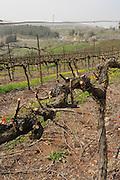 Israel, Golan Heights, Vineyard