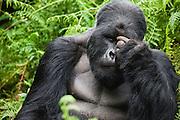 A  Silver-backed mountain gorilla (Gorilla beringei beringei)  in the forest, Volcanoes National Park, Rwanda