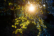 Bright sun shines through beech tree foliage in afternoon woodland.