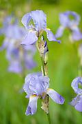 Purple Flag Iris, Iris versicolor, Monkton Nature Reserve, Kent, UK, growing at side of pond