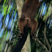 Red-bellied Lemur, (Lemur rubriventer) Male. Seldom seen in rainforests of Madagascar.