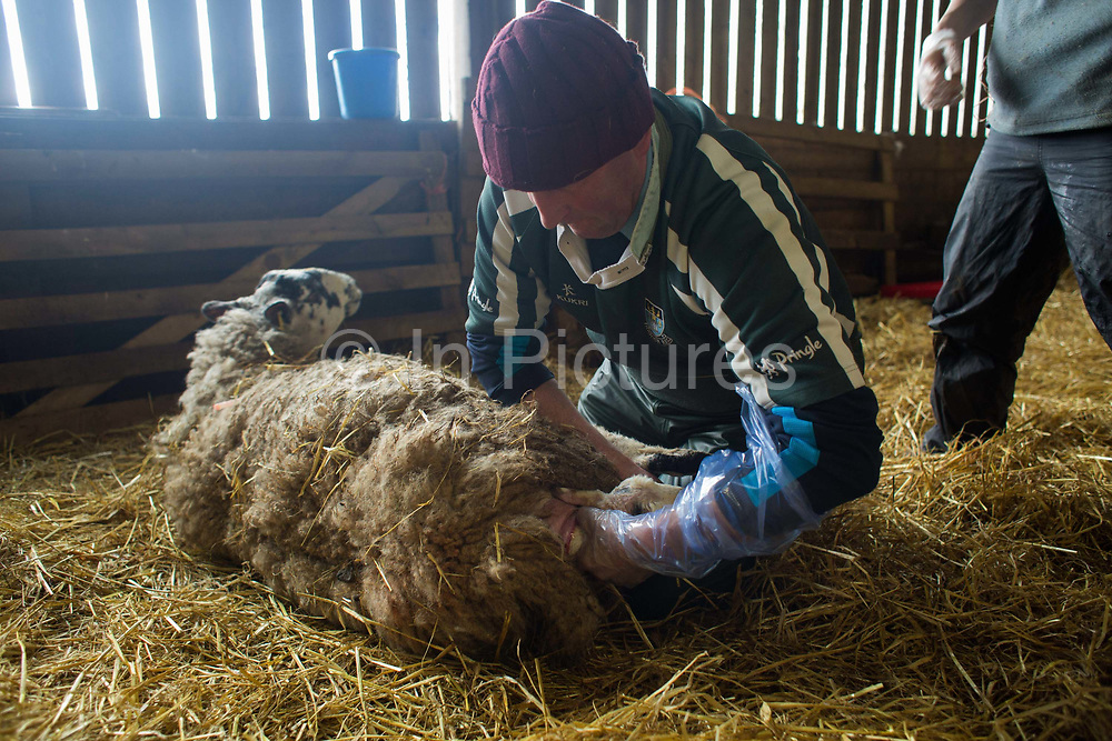 Spring is the lambing season in Scotland and Torsonce Mains Farm is busy lambing. Owner of the farm, Stewart Ranciman helps a ewe lambing because one of the legs of the newborn is sturck inside. The farm has 600 ewes all lambing from end of March till the end of April. Most will give birth to 2 lambs, occasionally 3 or even 4. The price of a 40 kg lamb is £60-70 and most are ready for sale 6-8 weeks later. Over 12 million lambs are slaughtered in the UK every year, producing more than 230,000 tonnes <br /> of meat.