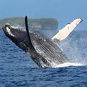 Humpback whale breaching near Fatumanga island in Vava'u, Kingdom of Tonga, with seawater streaming off the whale's body.