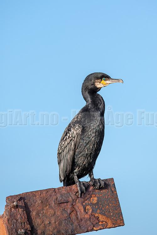 Skarv på en stang   Cormorant on a pole