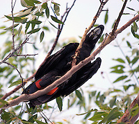 red-tailed black-cockatoo, male