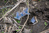 A super-energetic group of Boisduval's blues, drink up water quickly after a summer rain in the hot, arid sagebrush country of Kittitas County, Washington.