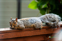A Grey Squirrel (Scientific name Sciurus Carolinensison) drinks from a bird bath during a brief visit to a small Sheffield suburban garden..<br /> 20 August 2021<br /> <br /> www.pauldaviddrabble.co.uk<br /> All Images Copyright Paul David Drabble - <br /> All rights Reserved - <br /> Moral Rights Asserted