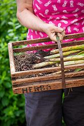 Holding a trug of harvested garlic - Allium sativum