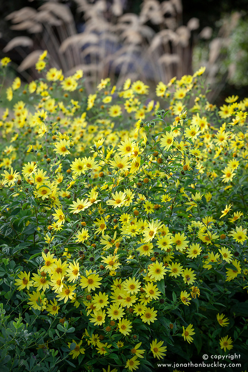 Helianthus 'Lemon Queen' AGM. Sunflower