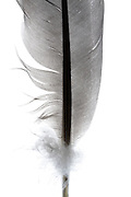 close up of a bird feather