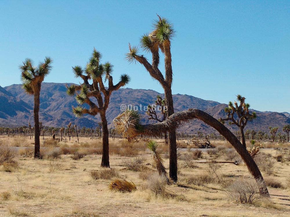 A group of Joshua Trees in Joshua Tree National Park California USA.