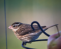 Female Rose-breasted Grosbeak (?). Image taken with a Nikon D5 camera and 600 mm f/4 VR lens (ISO 1400, 600 mm, f/5.6, 1/1250 sec)