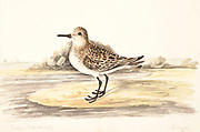 Sanderling (Calidris alba) on a sandy shore. This bird is found mainly in Arctic regions and migrates to South America, southern Europe, Africa and Australia. It feeds on small crabs, crab eggs and other small invertebrates. 18th century watercolor painting by Elizabeth Gwillim. Lady Elizabeth Symonds Gwillim (21 April 1763 – 21 December 1807) was an artist married to Sir Henry Gwillim, Puisne Judge at the Madras high court until 1808. Lady Gwillim painted a series of about 200 watercolours of Indian birds. Produced about 20 years before John James Audubon, her work has been acclaimed for its accuracy and natural postures as they were drawn from observations of the birds in life. She also painted fishes and flowers. McGill University Library and Archives