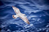 Herring Gull. Viewed from the deck of the MV World Odyssey. Image taken with a Fuji-X-T1 camera and 55-200 mm lens (ISO 200, 200 mm, f/4.8, 1/110 sec).