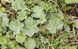 THEMENBILD - die Heilplanze Frauenmantel mit Tautropfen am Blattrand, aufgenommen am 28. Juli 2019 in Fusch a. d. Grossglocknerstrasse, Oesterreich // plants, dew drops, lady's mantle, botany, medicinal plant in Fusch a. d. Grossglocknerstrasse, Austria on 2019/07/28. EXPA Pictures © 2019, PhotoCredit: EXPA/Stefanie Oberhauser