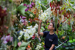© Licensed to London News Pictures. 06/02/2020. London, UK. Kew apprentice ALICE McKEEVER applies the final touch to 'Nepenthes tobacco' Orchids during press preview of the 25th Kew Orchid Festival at Kew Royal Botanical Gardens. This year's theme is around the wonders of Indonesia and the festival runs from 8 February to 8 March 2020. Photo credit: Dinendra Haria/LNP