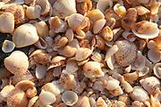 Shell beach shells, St. Barthelemy, FWI