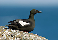 Black Guillemot Cepphus grylle L 34cm. Charming, coastal auk. Swims well and dives for Butterfish and other bottom-dwellers. Sexes are similar. Adult in summer has mainly sooty-brown plumage except for striking white patch on wing. Has red legs and orange-red gape. In winter, has scaly grey upperparts and white upperparts; black wings and contrasting white wing patch are retained. 1st winter bird is similar to a winter adult but white wing patch contains dark markings. Voice Utters high-pitched whistling calls. Status Local year-round resident in inshore waters of Ireland and N and W Scotland.