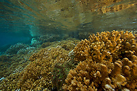 Coral reef dominated by Pocillopora hard corals, with some coral bleaching<br /><br />Canales de Afuera Islands<br />Coiba National Park<br />Panama