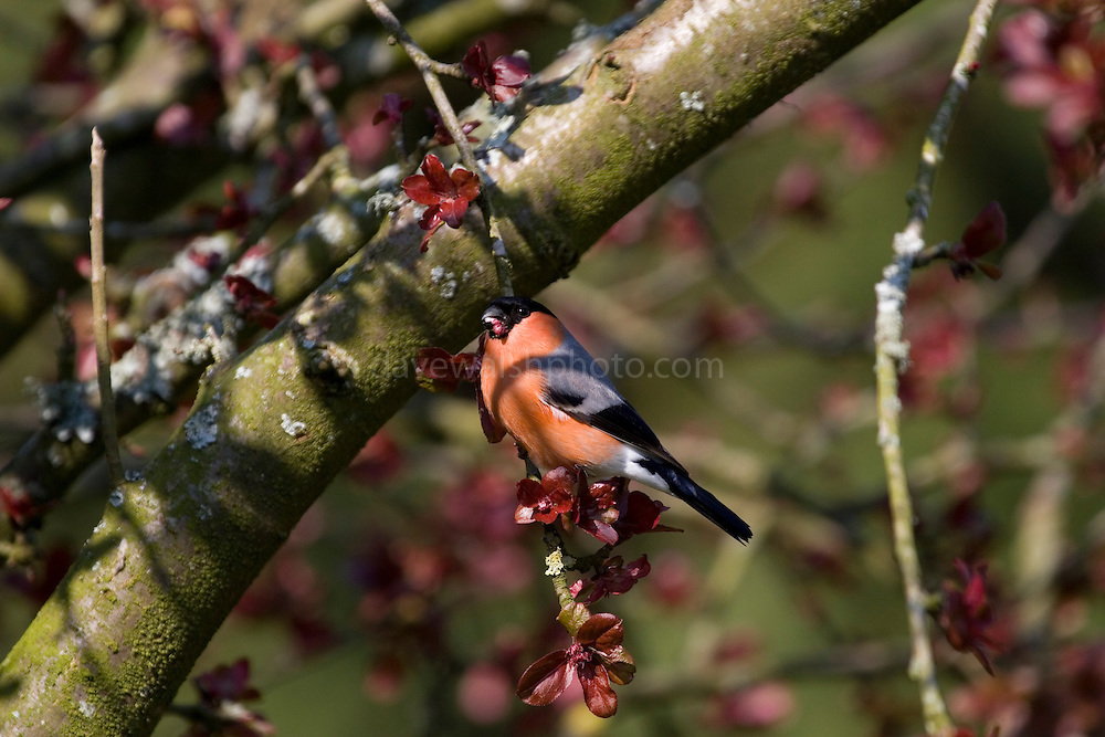 Bullfinch - pyrrhula pyrrhula - brightly coloured garden bird eating blossoms