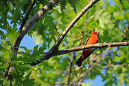 Scarlet Tanager hanging out in the top of an oak tree in upstate, NY.