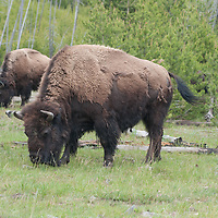 American Bison (Bison bison) graze in a Lodgepole Pine grove in Yellowstone National Park, Wyoming.