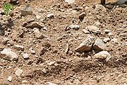 Domaine Cazeneuve in Lauret. Pic St Loup. Languedoc. Sandy and calcareous rock soil. Terroir soil. France. Europe. Vineyard. Sand. Calcareous limestone.