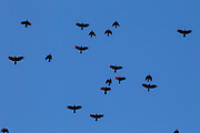 A murder of American crows (Corvus brachyrhynchos) flies over Snohomish County, Washington, on the way to the birds' night roosting spot with some of their wings catching the golden light of sunset.