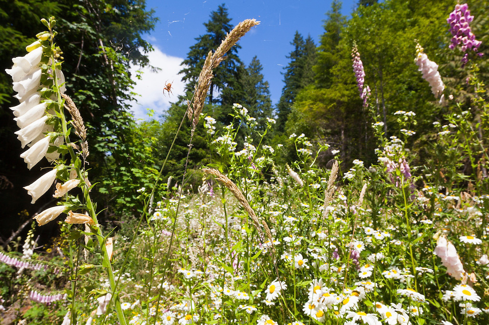 A spider hangs from its web above a lush patch of daisies and foxglove (Digitalis sp.) in the Bacon Creek drainage, Mount Baker-Snoqualmie National Forest, Washington.