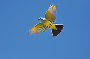 Western Kingbird ( Tyrannus verticalis)<br />Grasslands National Park<br />Saskatchewan<br />Canada