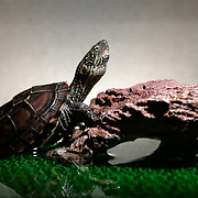 This is a juvenile 10cm Chinese pond turtle (Mauremys reevesii) in his terrarium. This species is semiaquatic in the wild, found in marshes, ponds, streams and similar bodies of shallow water. It is listed as Endangered on the IUCN Red List, threatened by several causes, including competition from introduced species, loss of habitat, and use in Chinese medicine. This species is also popular in the global pet trade. This individual was found on a road in Japan, far from water, when it was only 2.8cm, perhaps picked up and transported by a crow shortly after birth. Though the species had earlier been considered native to Japan, genetic testing in recent years suggests multiple introductions from outside Japan.