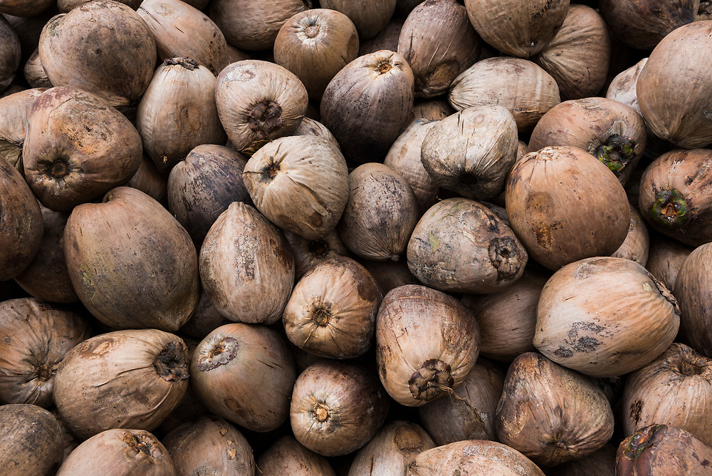Numerous brown coconuts harvested and in a pile on a copra/cocount plantation on Karkar Island, Papua New Guinea